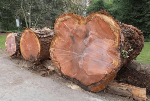 Giant Sequoia Stump in Mainau, Germany